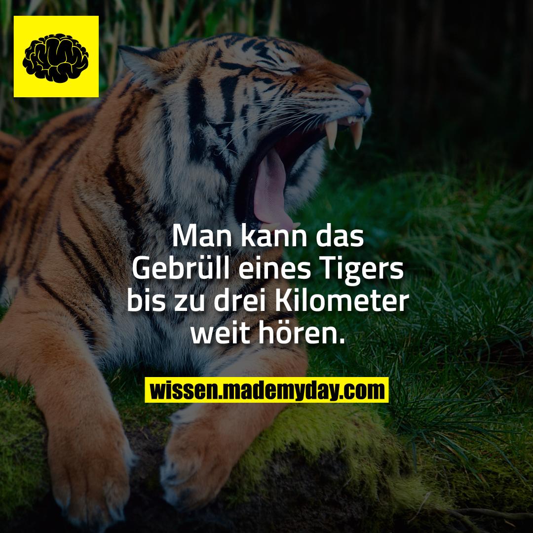 Man kann das Gebrüll eines Tigers bis zu drei Kilometer weit hören.