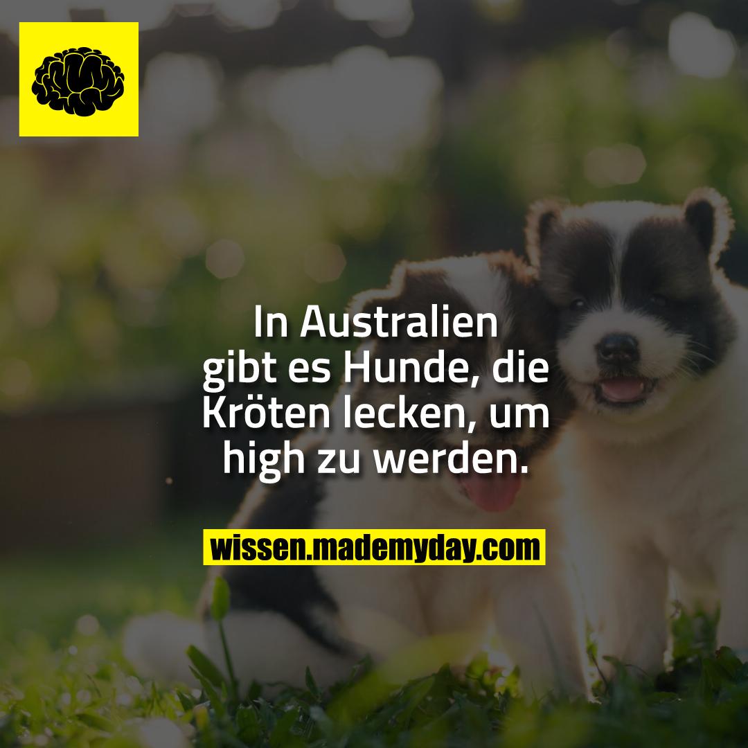 In Australien gibt es Hunde, die Kröten lecken, um high zu werden.