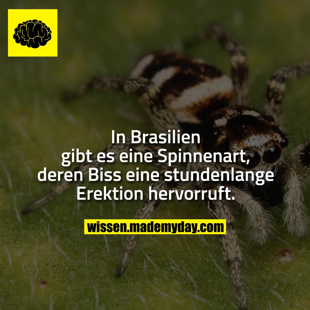 In Brasilien gibt es eine Spinnenart, deren Biss eine stundenlange Erektion hervorruft.