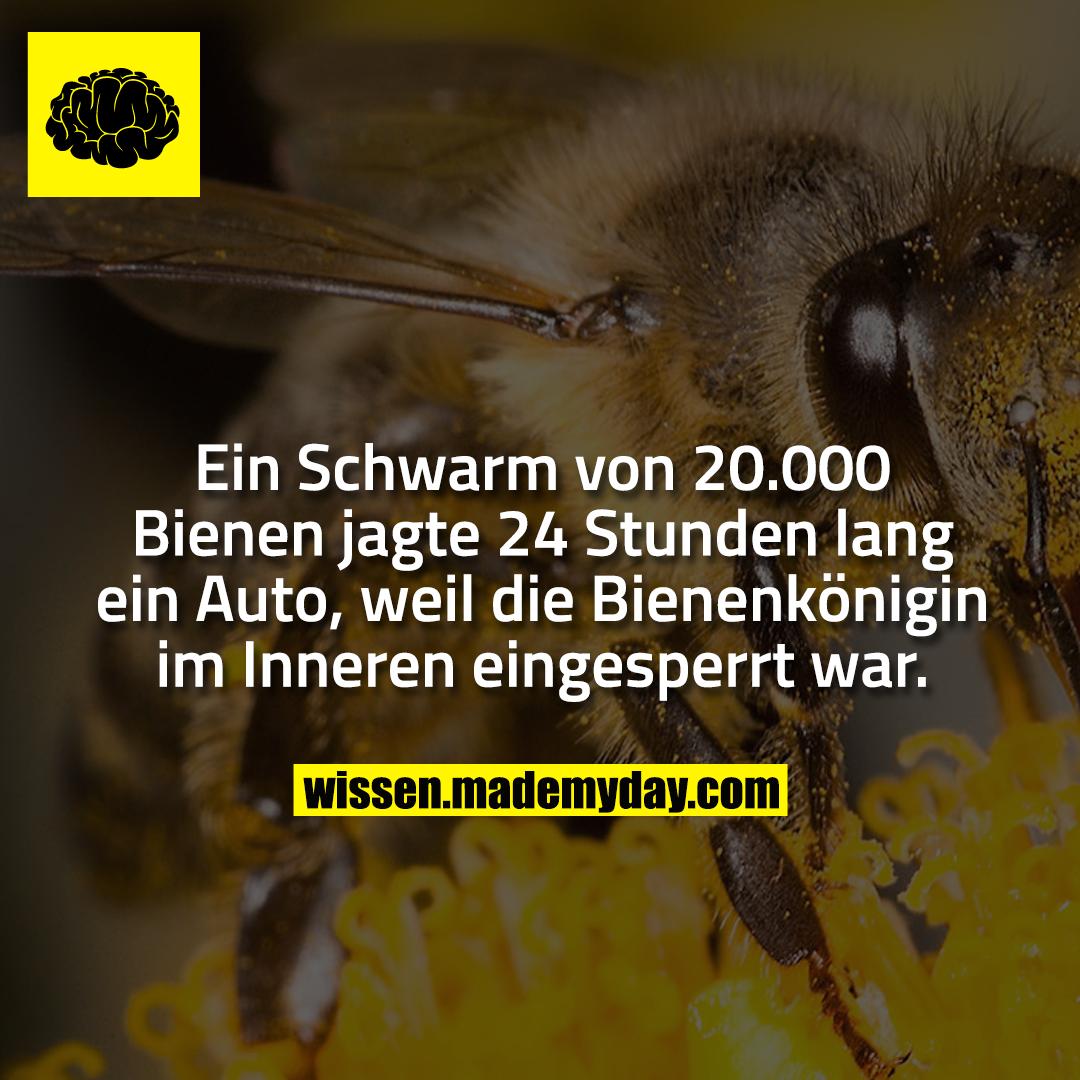 Ein Schwarm von 20.000 Bienen jagte 24 Stunden lang ein Auto, weil die Bienenkönigin im Inneren eingesperrt war.