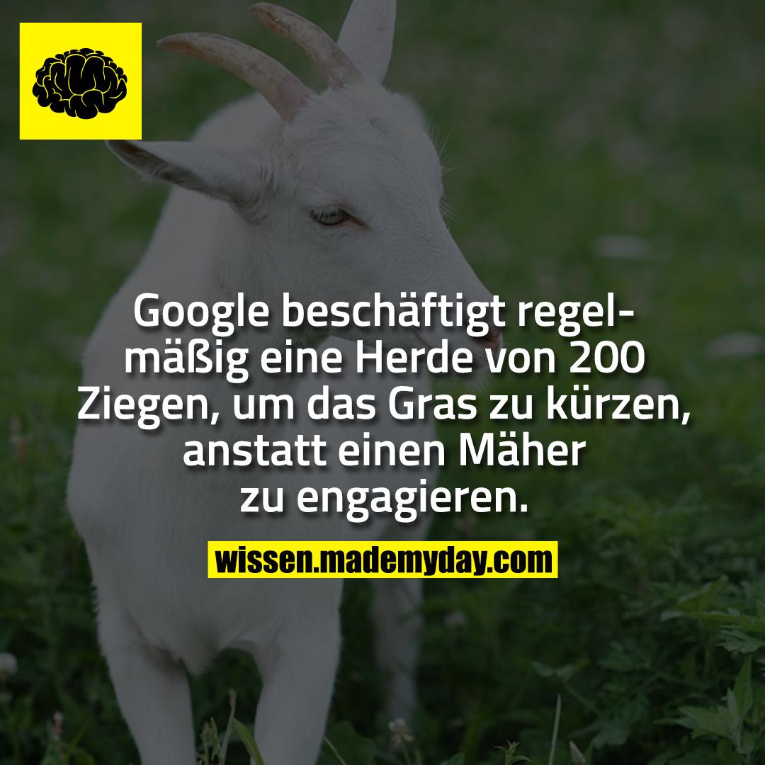 Google beschäftigt regelmäßig eine Herde von 200 Ziegen, um das Gras zu kürzen, anstatt einen Mäher zu engagieren.