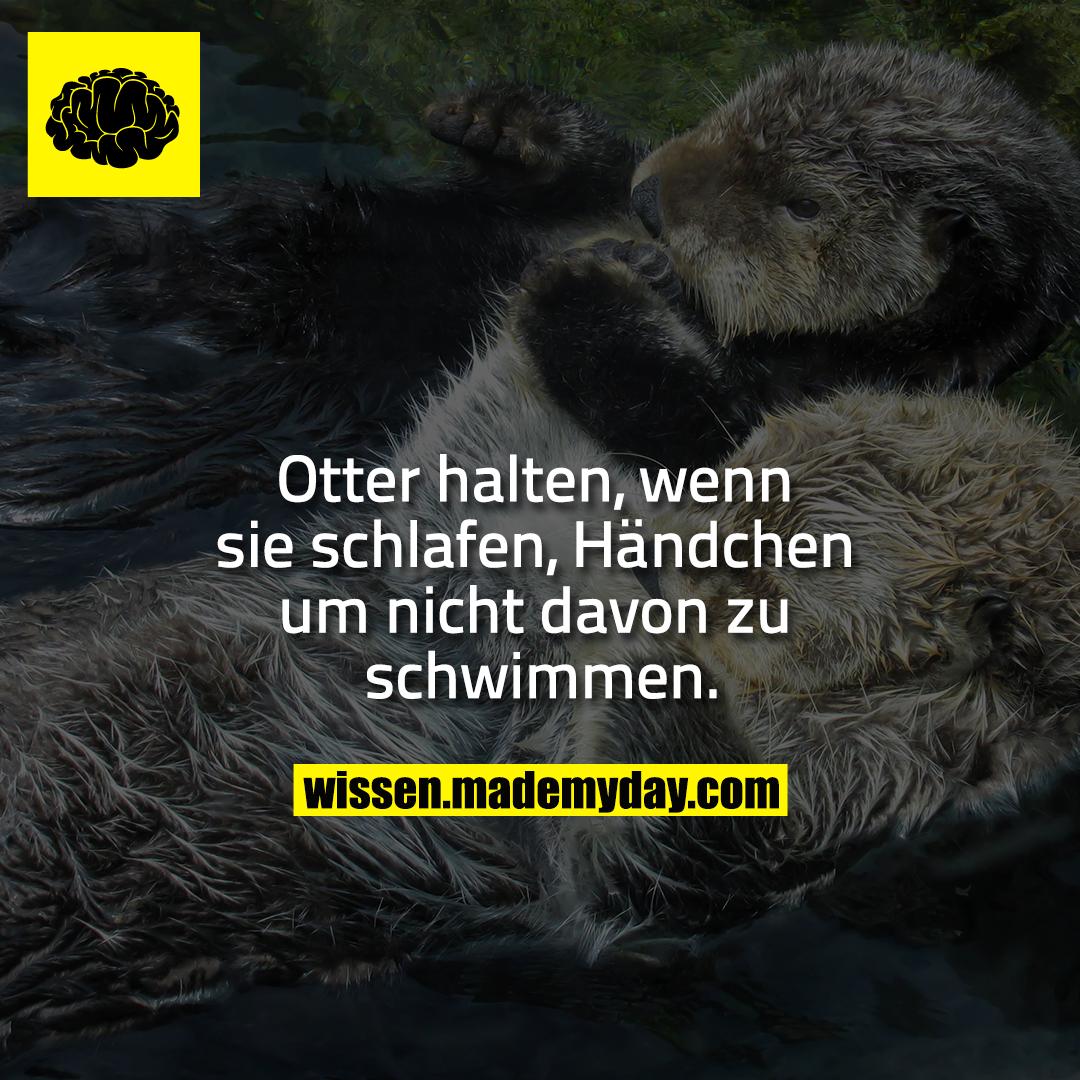 Otter halten, wenn sie schlafen, Händchen um nicht davon zu schwimmen.