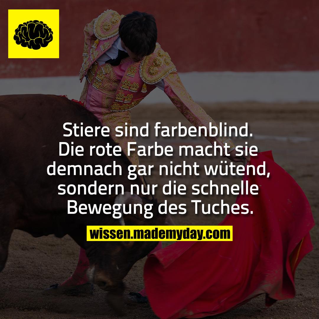 Stiere sind farbenblind. Die rote Farbe macht sie demnach gar nicht wütend, sondern nur die schnelle Bewegung des Tuches.