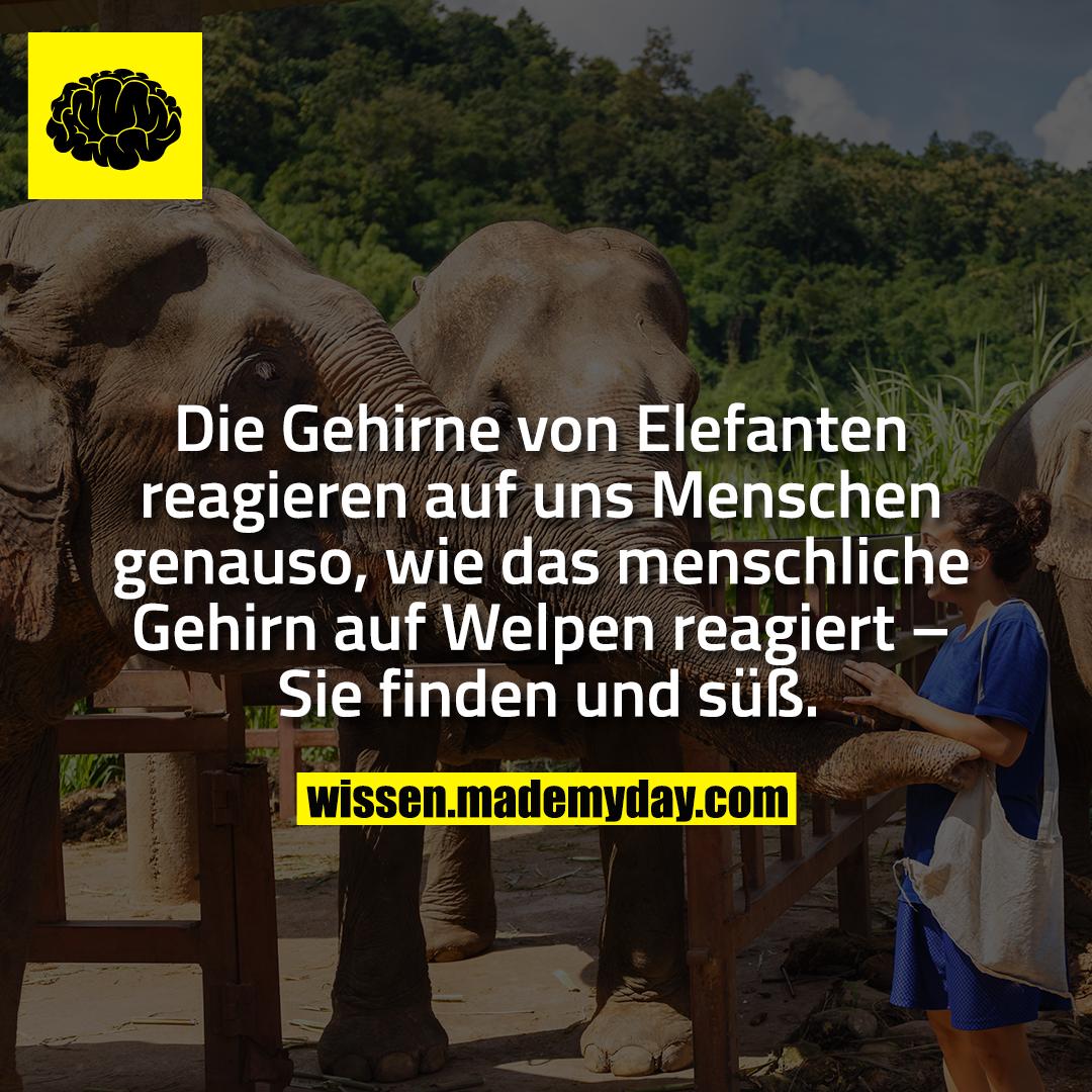 Die Gehirne von Elefanten reagieren auf uns Menschen genauso, wie das menschliche Gehirn auf Welpen reagiert – Sie finden und süß.