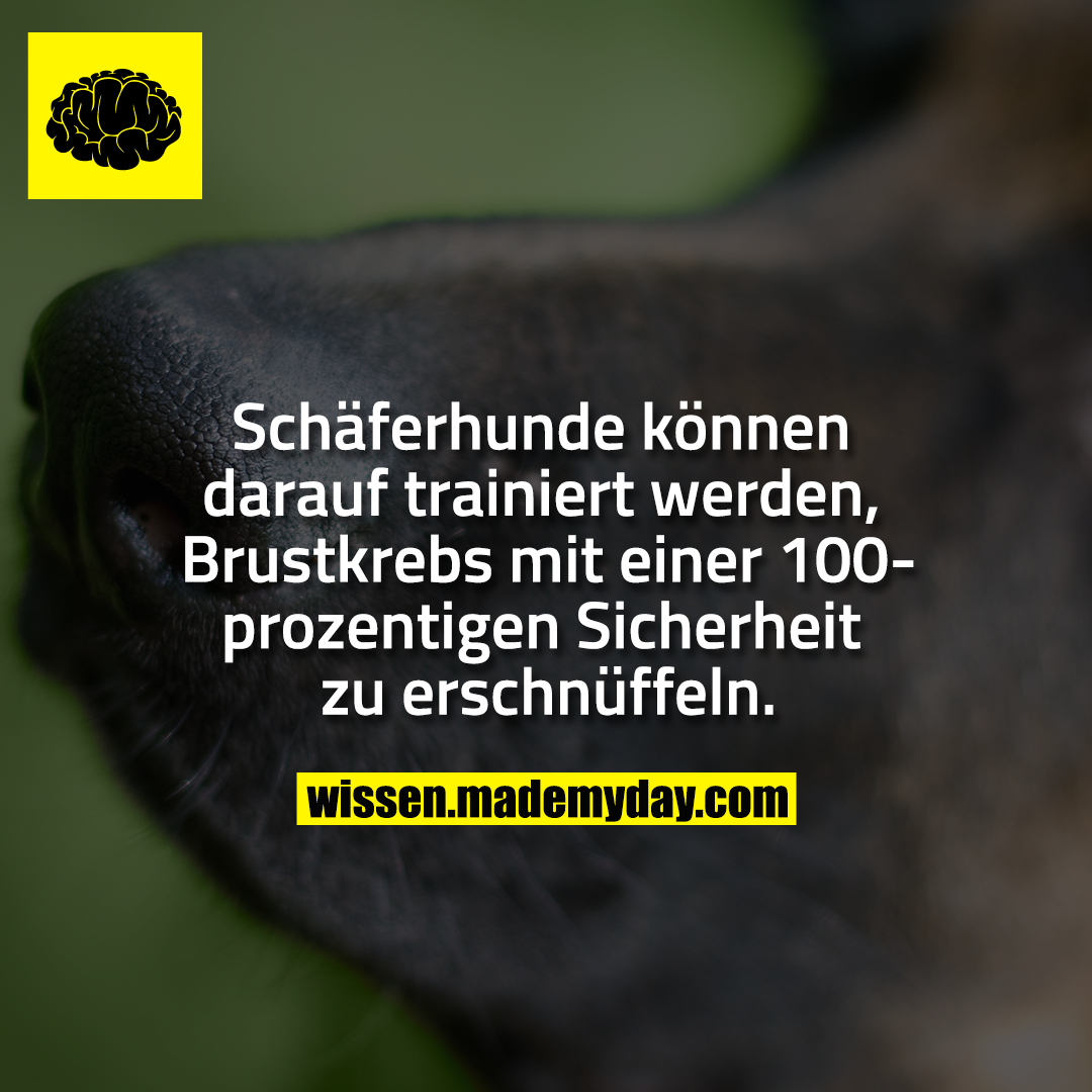 Schäferhunde können darauf trainiert werden, Brustkrebs mit einer 100-prozentigen Sicherheit zu erschnüffeln.