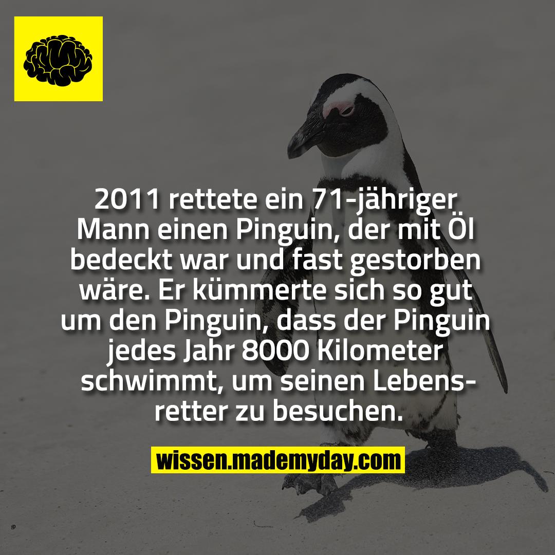 2011 rettete ein 71-jähriger Mann einen Pinguin, der mit Öl bedeckt war und fast gestorben wäre. Er kümmerte sich so gut um den Pinguin, dass der Pinguin jedes Jahr 8000 Kilometer schwimmt, um seinen Lebensretter zu besuchen.