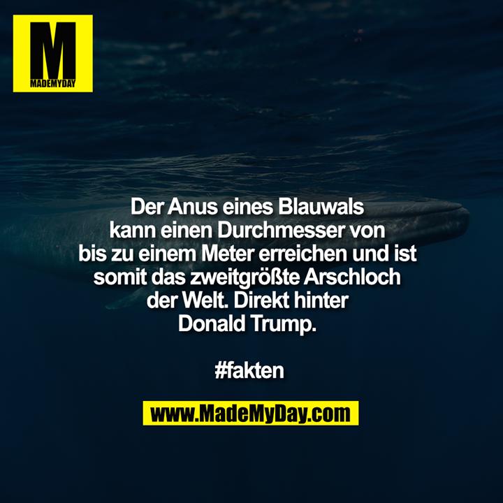 Der Anus eines Blauwals kann einen Durchmesser von bis zu einem Meter erreichen und ist somit das zweitgrößte Arschloch der Welt. Direkt hinter Donald Trump. <br /> <br /> #fakten