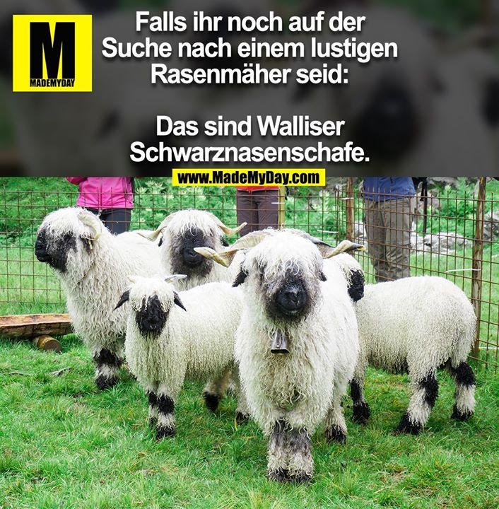 Falls ihr noch auf der<br /> Suche nach einem lustigen<br /> Rasenmäher seid:<br /> <br /> Das sind Walliser<br /> Schwarznasenschafe.