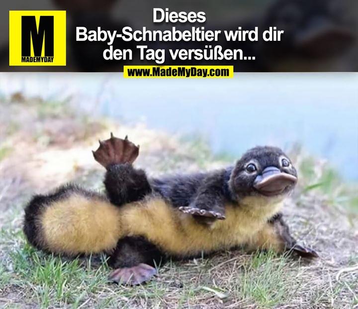 Dieses Baby-Schnabeltier wird dir den Tag versüßen...