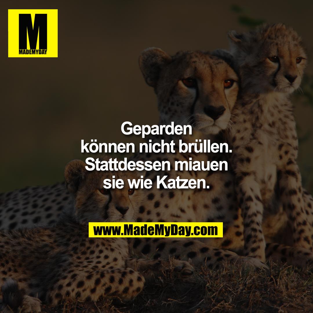 Geparden können nicht brüllen.<br /> Stattdessen miauen sie wie Katzen.