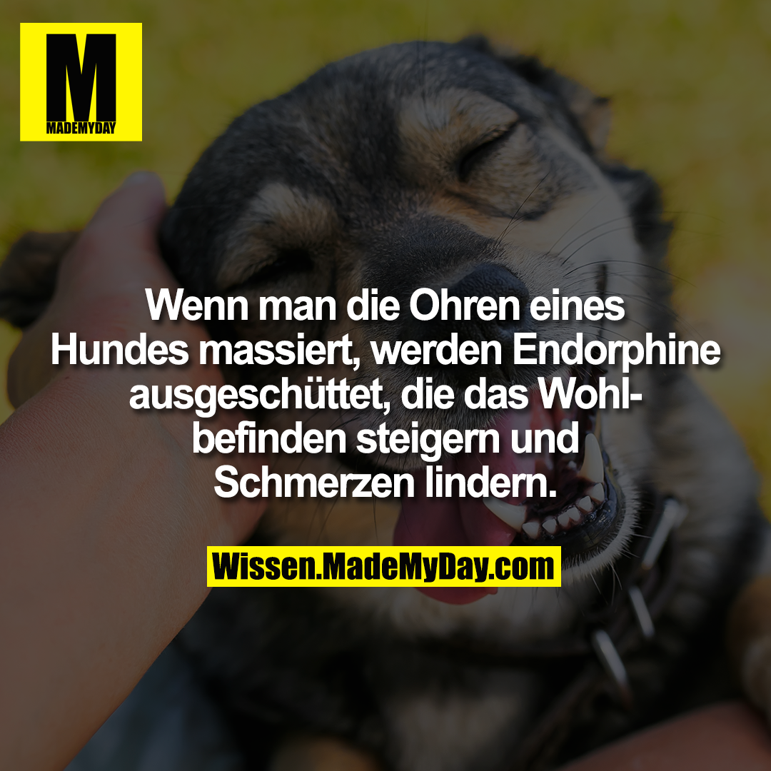 Wenn man die Ohren eines Hunds massiert, werden Endorphine ausgeschüttet, die das Wohlbefinden steigern und Schmerzen lindern.