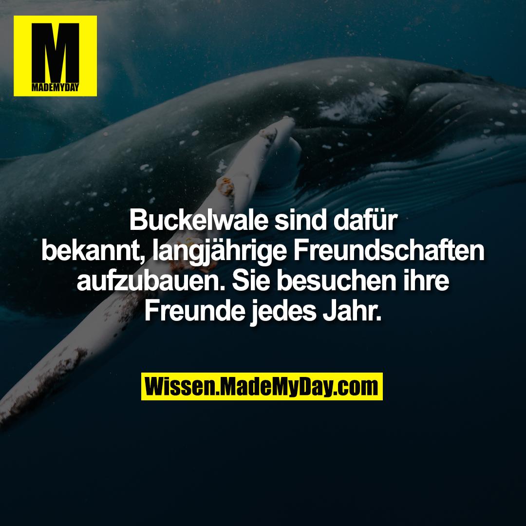 Buckelwale sind dafür bekannt, langjährige Freundschaften aufzubauen. Sie besuchen ihre Freunde jedes Jahr.
