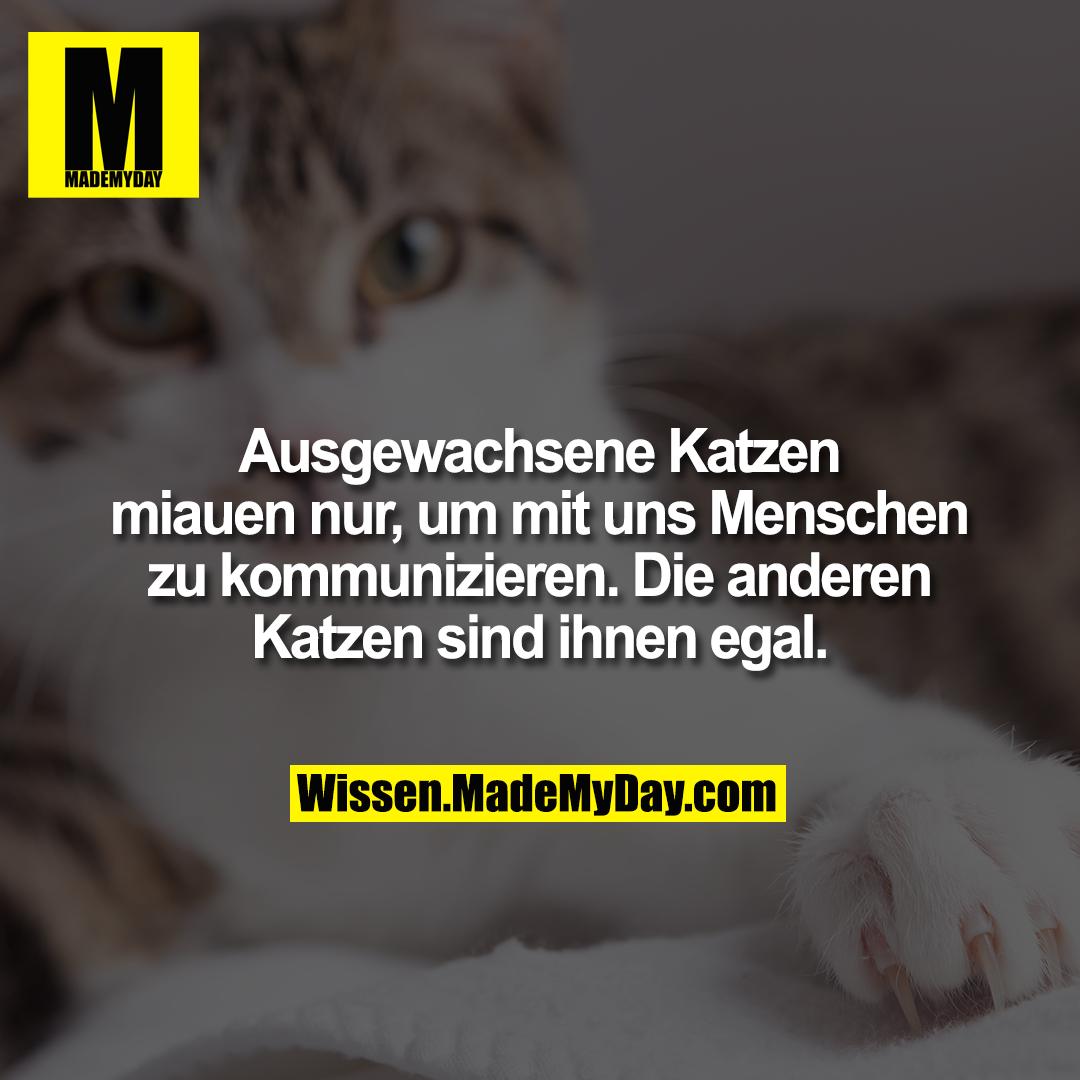 Ausgewachsene Katzen miauen nur, um mit uns Menschen zu kommunizieren. Die anderen Katzen sind ihnen egal.