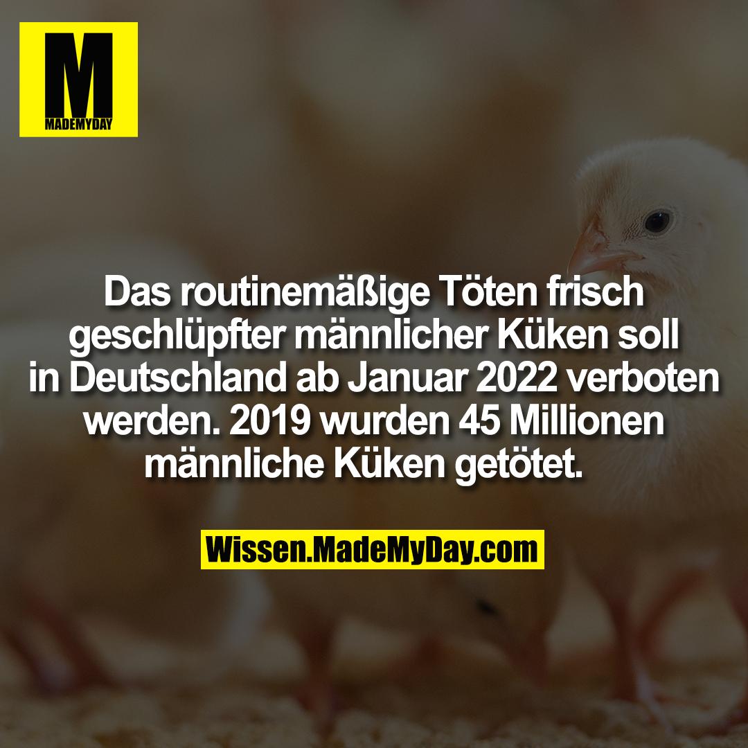 Das routinemäßige Töten frisch geschlüpfter männlicher Küken soll in Deutschland ab Januar 2022 verboten werden. 2019 wurden 45 Millionen männliche Küken getötet.