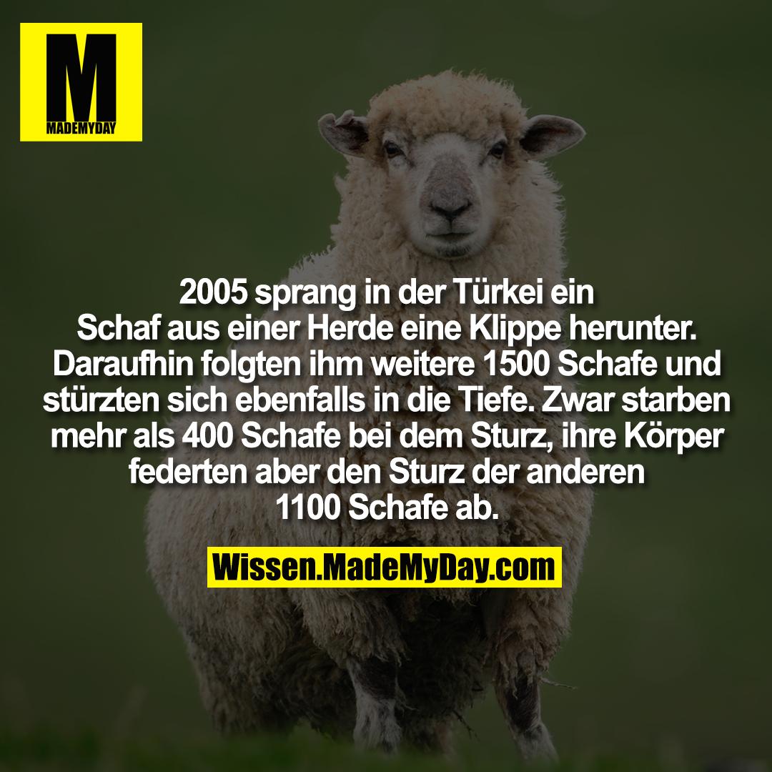 2005 sprang in der Türkei ein Schaf aus einer Herde eine Klippe herunter. Daraufhin folgten ihm weitere 1500 Schafe und stürzten sich ebenfalls in die Tiefe. Zwar starben mehr als 400 Schafe bei dem Sturz, ihre Körper federten aber den Sturz der anderen 1100 Schafe ab.