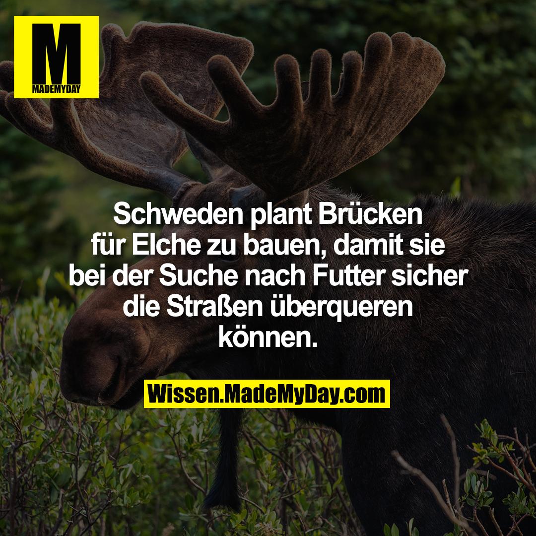 Schweden plant Brücken für Elche zu bauen, damit sie bei der Suche nach Futter sicher die Straßen überqueren können.