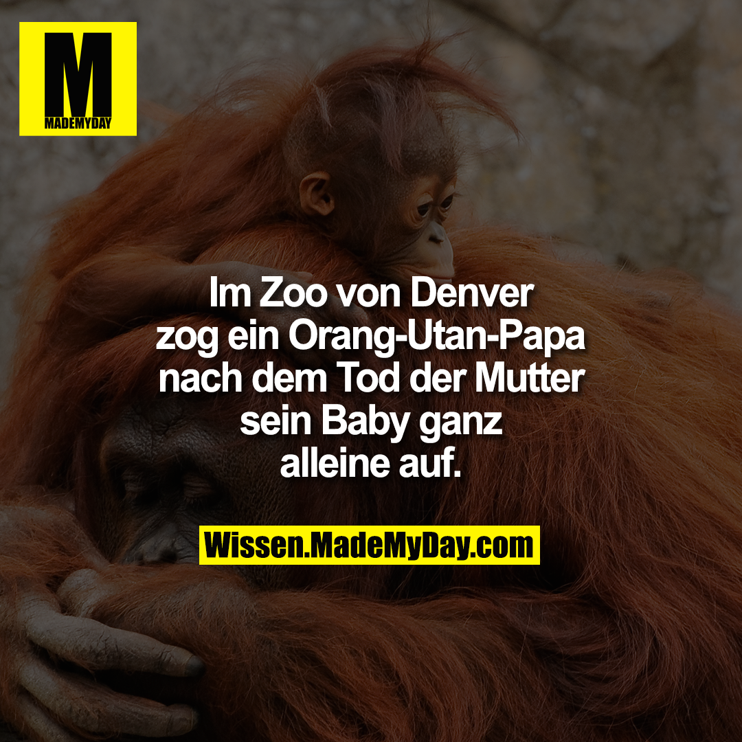 Im Zoo von Denver zog ein Orang-Utan-Papa nach dem Tod der Mutter sein Baby ganz alleine auf.