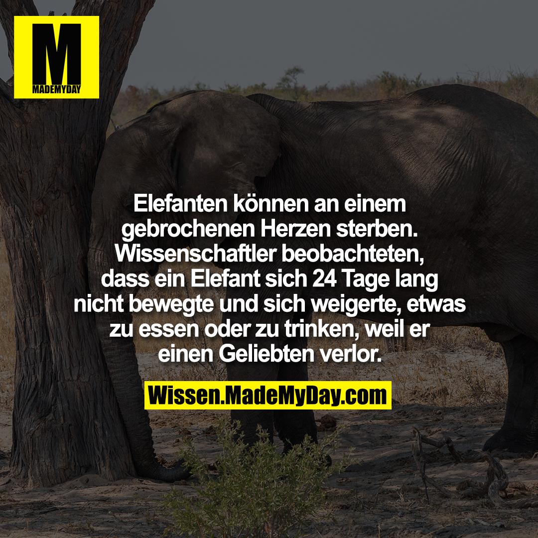 Elefanten können an einem gebrochenen Herzen sterben. Wissenschaftler beobachteten, dass ein Elefant sich 24 Tage lang nicht bewegte und sich weigerte, etwas zu essen oder zu trinken, weil er einen Geliebten verlor.