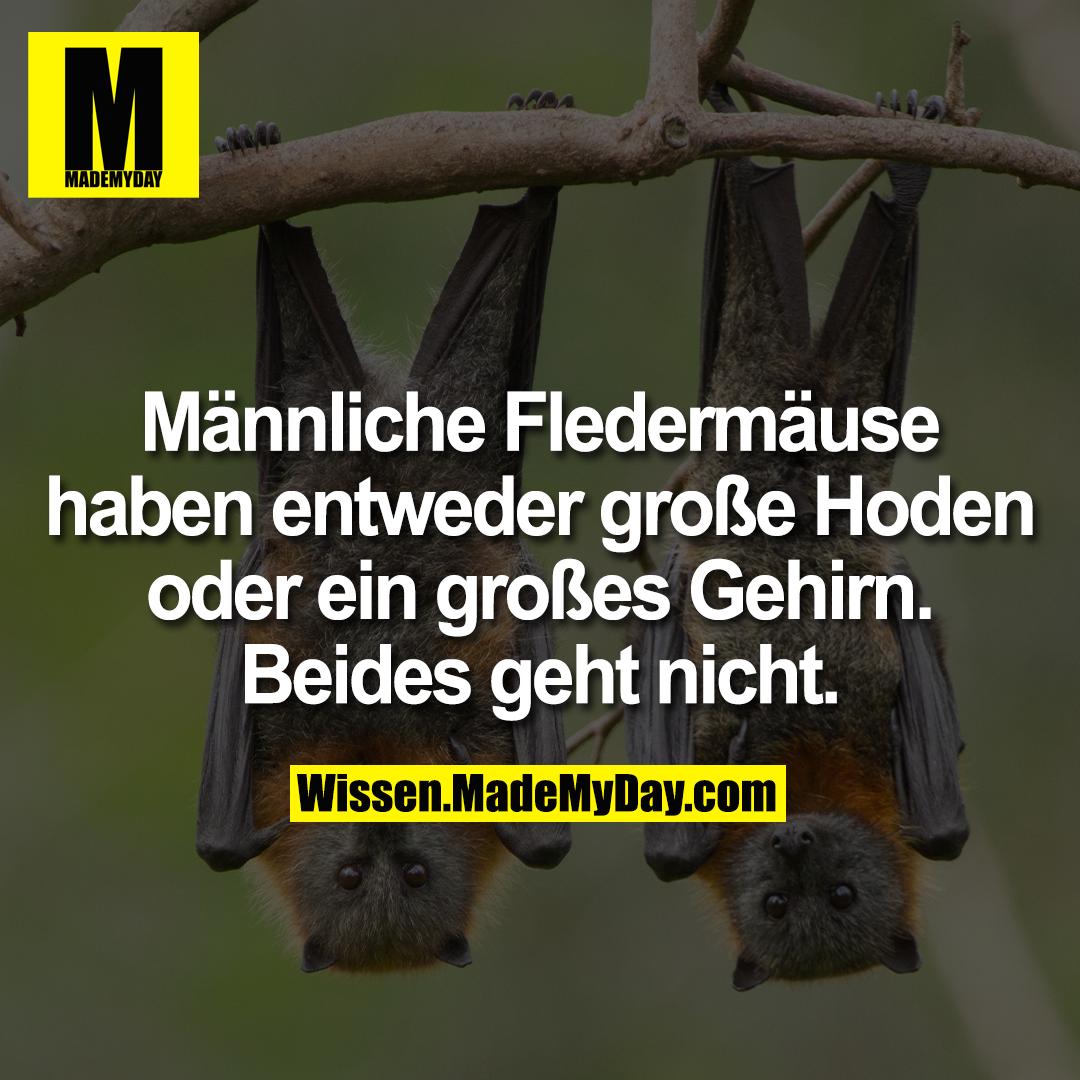 Männliche Fledermäuse haben entweder große Hoden oder ein großes Gehirn. Beides geht nicht.