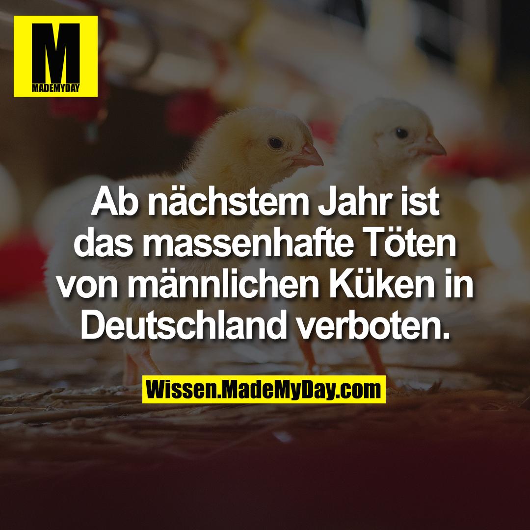 Ab nächstem Jahr ist das massenhafte Töten von männlichen Küken in Deutschland verboten.