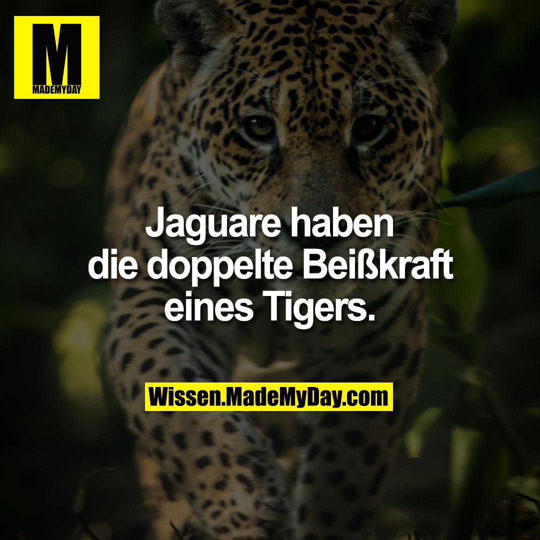 Jaguare haben die doppelte Beißkraft eines Tigers.