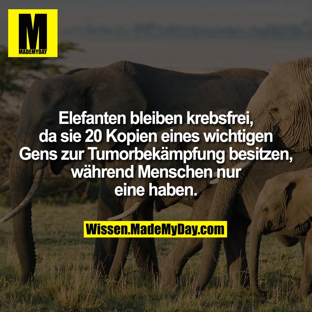 Elefanten bleiben krebsfrei, da sie 20 Kopien eines wichtigen Gens zur Tumorbekämpfung besitzen, während Menschen nur eine haben.
