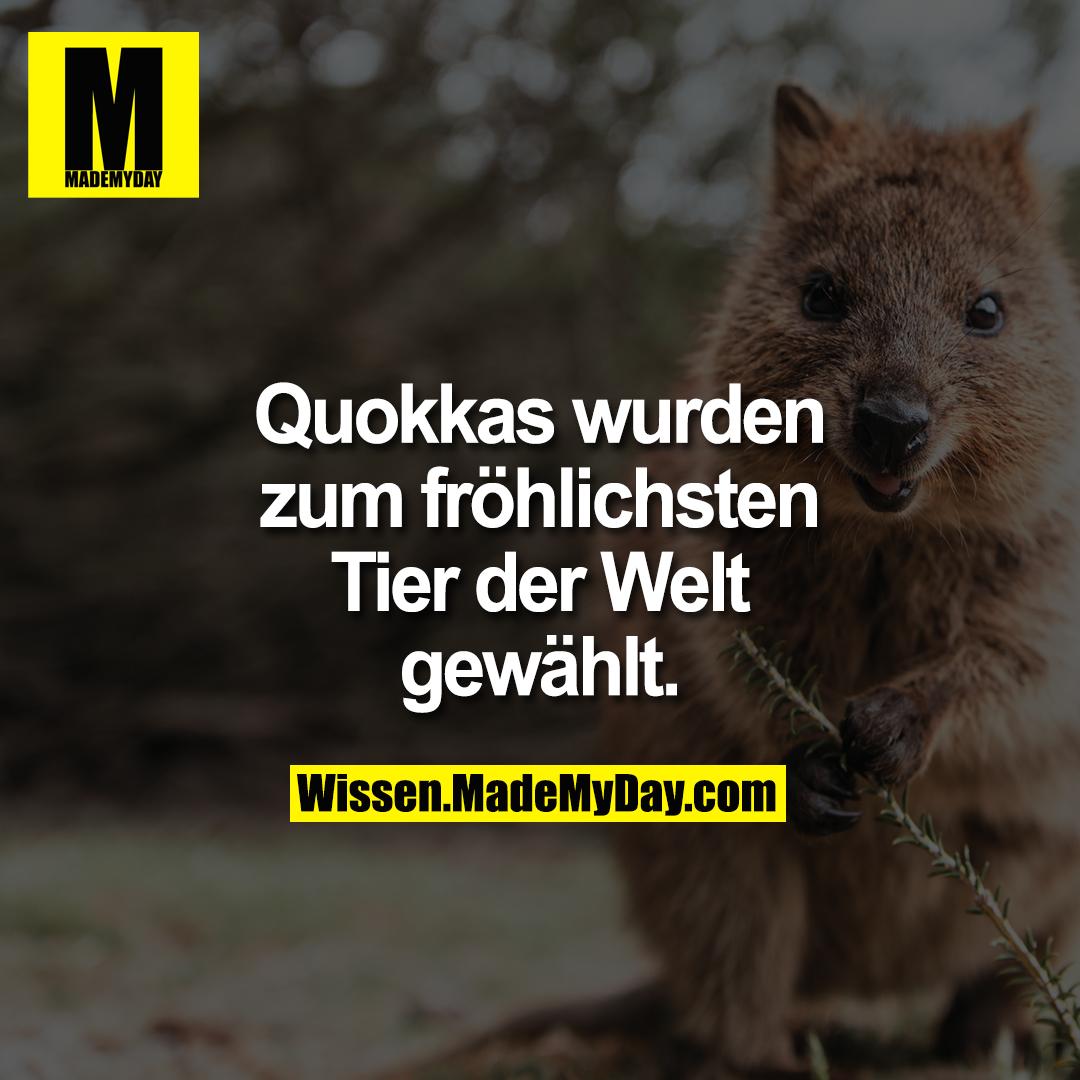 Quokkas wurden zum fröhlichsten Tier der Welt gewählt.
