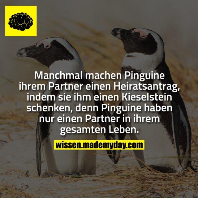 Manchmal machen Pinguine ihrem Partner einen Heiratsantrag, indem sie ihm einen Kieselstein schenken, denn Pinguine haben nur einen Partner für ihr gesamtes Leben.