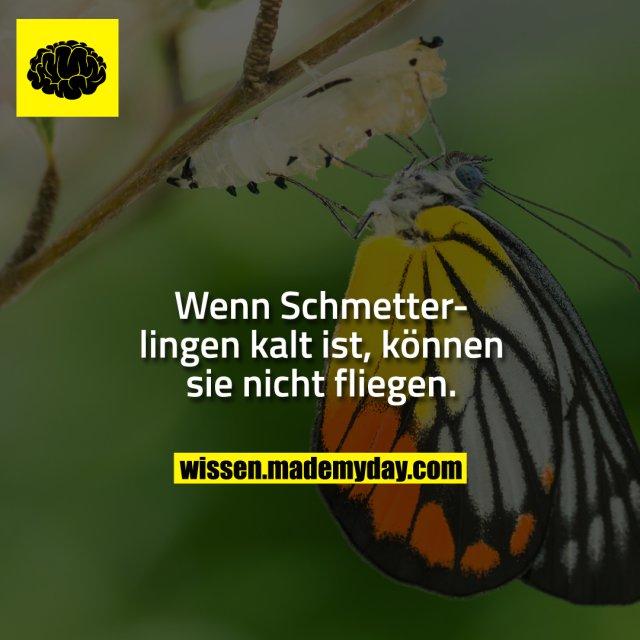 Wenn Schmetterlingen kalt ist, können sie nicht fliegen.