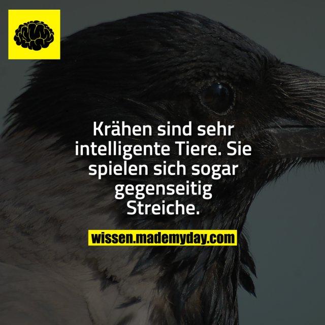 Krähen sind sehr intelligente Tiere. Sie spielen sich sogar gegenseitig Streiche.