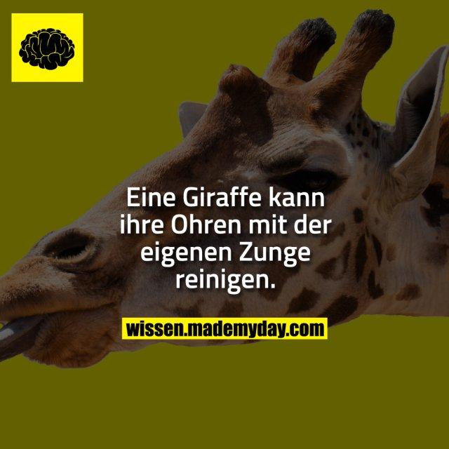 Eine Giraffe kann ihre Ohren mit der eigenen Zunge reinigen.