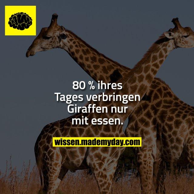 80 % ihres Tages verbringen Giraffen nur mit essen.