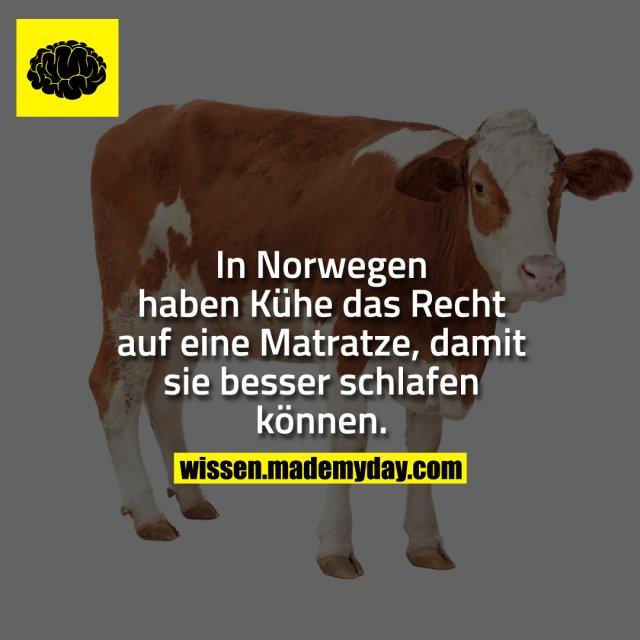 In Norwegen haben Kühe das Recht auf eine Matratze, damit sie besser schlafen können.