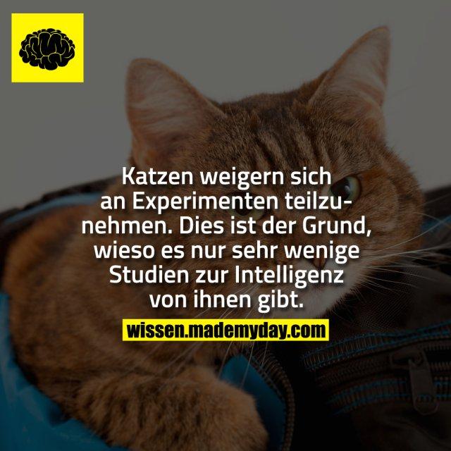 Katzen weigern sich an Experimenten teilzunehmen. Dies ist der Grund, wieso es nur sehr wenige Studien zur Intelligenz von ihnen gibt.