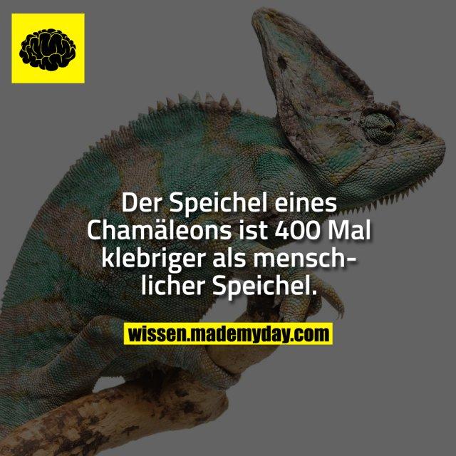 Der Speichel eines Chamäleons ist 400 Mal klebriger als menschlicher Speichel.