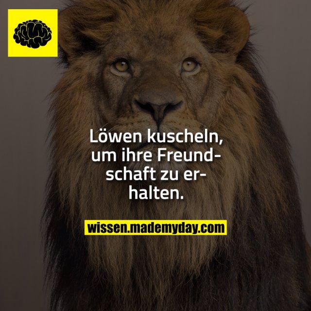 Löwen kuscheln, um ihre Freundschaft zu erhalten.