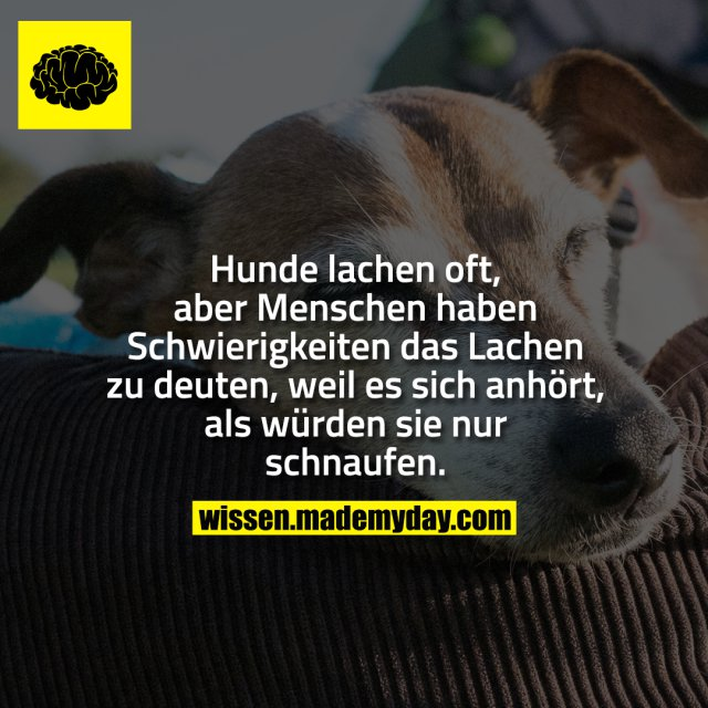 Hunde lachen oft, aber Menschen haben Schwierigkeiten das Lachen zu deuten, weil es sich anhört, als würden sie nur schnaufen.