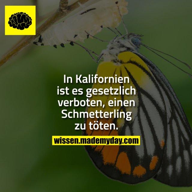 In Kalifornien ist es gesetzlich verboten, einen Schmetterling zu töten.