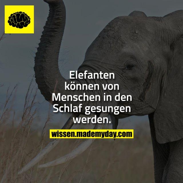 Elefanten können von Menschen in den Schlaf gesungen werden.