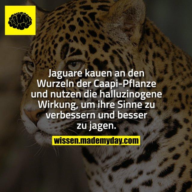 Jaguare kauen an den Wurzeln der Caapi-Pflanze und nutzen die halluzinogene Wirkung, um ihre Sinne zu verbessern und besser zu jagen.
