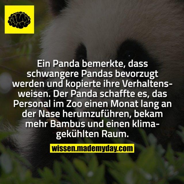 Ein Panda bemerkte, dass schwangere Pandas bevorzugt werden und kopierte ihre Verhaltensweisen. Der Panda schaffte es, das Personal im Zoo einen Monat lang an der Nase herumzuführen, bekam mehr Bambus und einen klimagekühlten Raum.