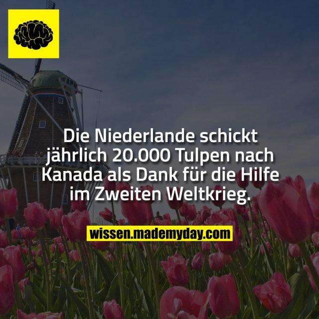Die Niederlande schickt jährlich 20.000 Tulpen nach Kanada als Dank für die Hilfe im Zweiten Weltkrieg.