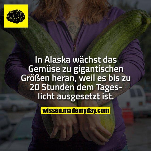 In Alaska wächst das Gemüse zu gigantischen Größen heran, weil es bis zu 20 Stunden dem Tageslicht ausgesetzt ist.
