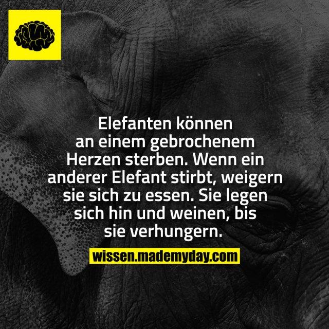 Elefanten können an einem gebrochenem Herzen sterben.<br /> Wenn ein anderer Elefant stirbt, weigern sie sich zu essen.<br /> Sie legen sich hin und weinen, bis sie verhungern.