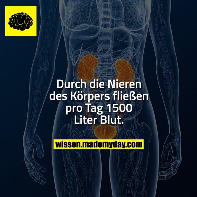 Durch die Nieren des Körpers fließen pro Tag 1500 Liter Blut.