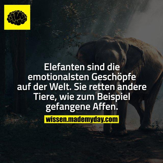 Elefanten sind die emotionalsten Geschöpfe auf der Welt. Sie retten andere Tiere, wie zum Beispiel gefangene Affen.