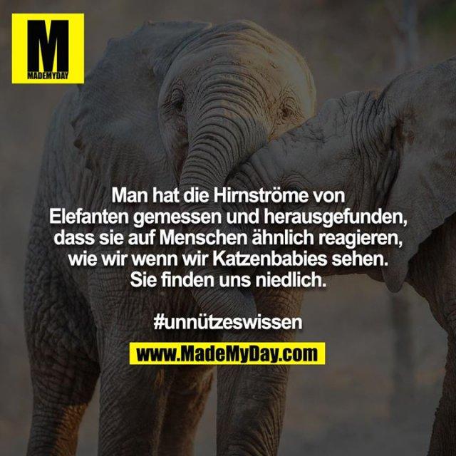Man hat die Hirnströme von Elefanten gemessen und herausgefunden, dass sie auf Menschen ähnlich reagieren, wie wir wenn wir Katzenbabies sehen.<br /> Sie finden uns niedlich.<br /> <br /> #unnützeswissen