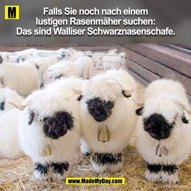 Falls Sie noch nach einem lustigen Rasenmäher suchen: Das sind Walliser Schwarznasenschafe