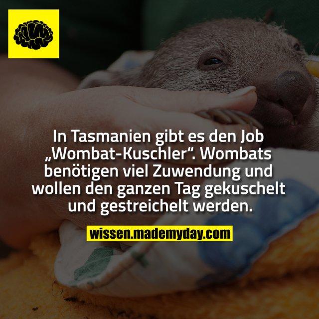 """In Tasmanien gibt es den Job """"Wombat-Kuschler"""". Wombats benötigen viel Zuwendung und wollen den ganzen Tag gekuschelt und gestreichelt werden."""