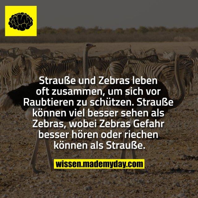 Strauße und Zebras leben oft zusammen, um sich vor Raubtieren zu schützen. Strauße können viel besser sehen als Zebras, wobei Zebras Gefahr besser hören oder riechen können als Strauße.